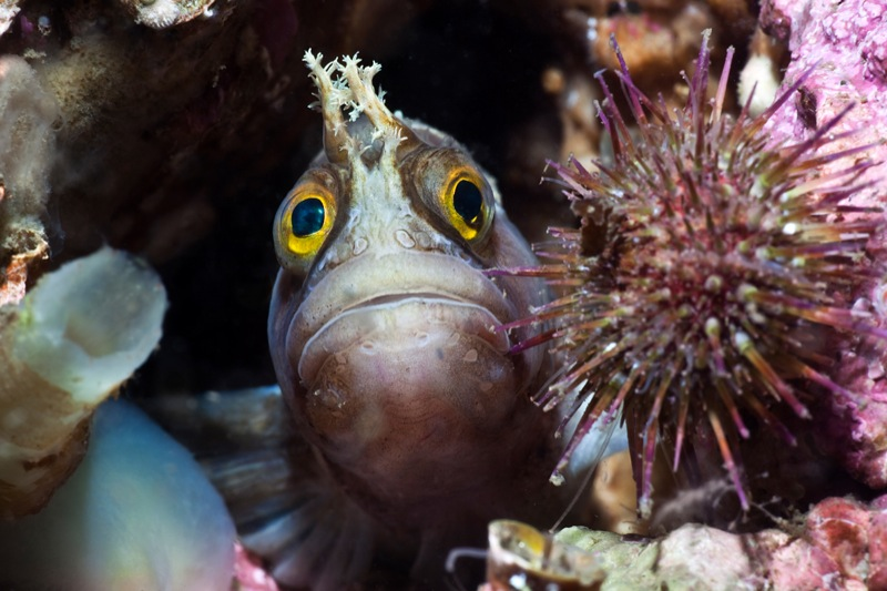 Yarell's Blenny
